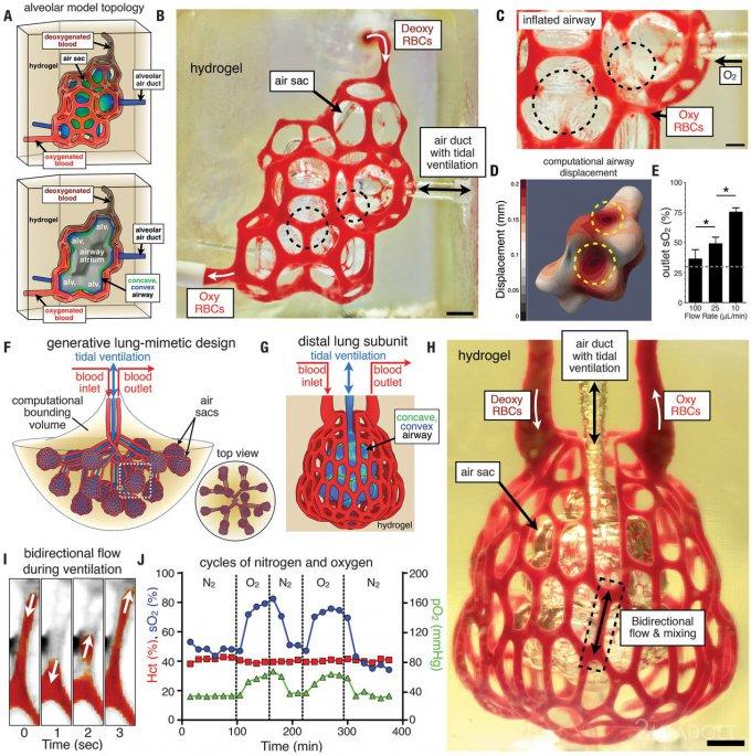 Впервые человеческие лёгкие напечатали на 3D-принтере (2 фото + видео)
