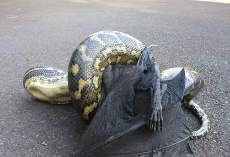 Питон съел летучую мышь