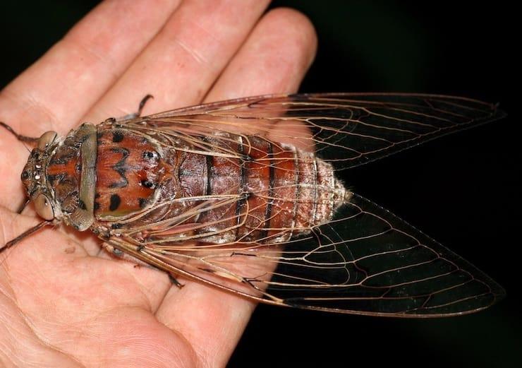 мухи в Австралии