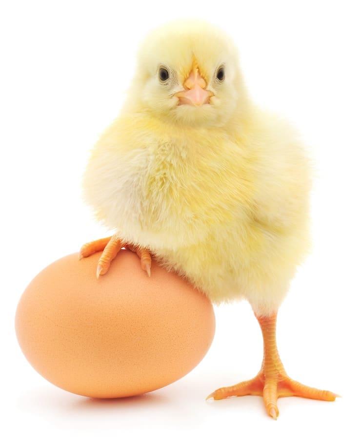 Что было первым – курица или яйцо