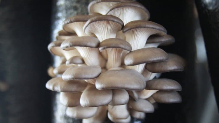 вешенка гриб